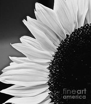 Sunflower Black and White by Glennis Siverson