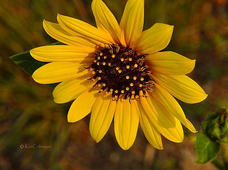 Kae Cheatham - Sunflower Bloom