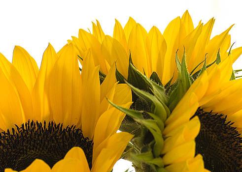 Sunflower Bright by Stephanie Maatta Smith