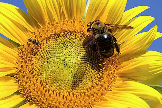 Sunflower Bumble Bee Macro by Kathy Clark