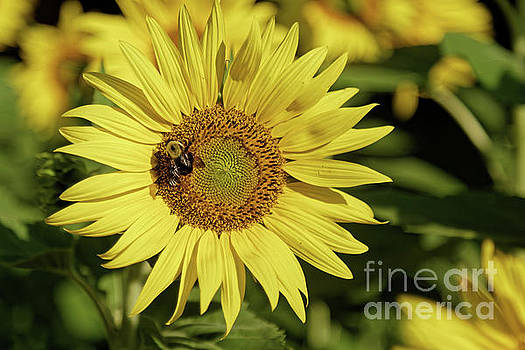 Sunflower Bumble by Natural Focal Point Photography