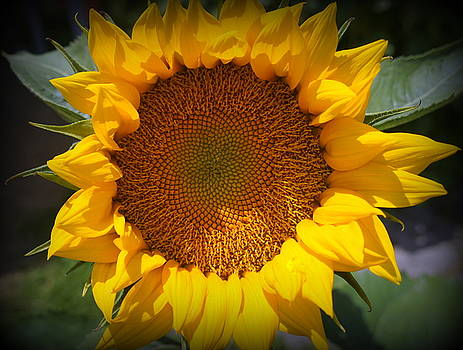 Laurie Perry - Sunflower Burst