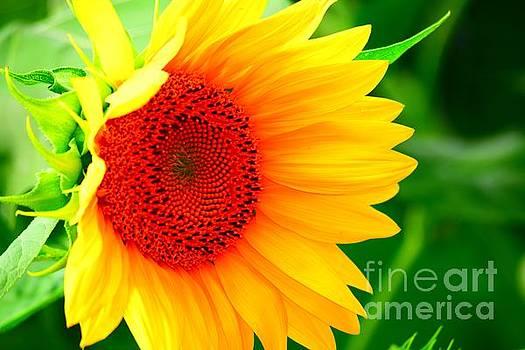 Sunflower Cheer by Becky Kurth