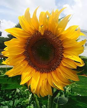 Sunflower by Christy Miles