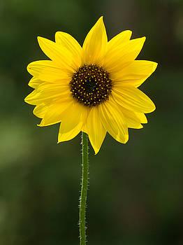 Dee Carpenter - Sunflower Closeup