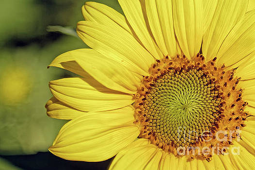 Sunflower Closeup by Natural Focal Point Photography