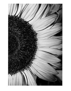 Sunflower by Dana Flaherty
