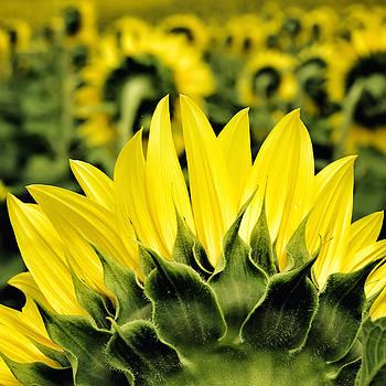 Georgia Fowler - Sunflower Days - Square