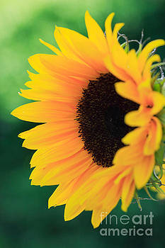 Sunflower by Deborah Benbrook