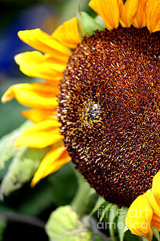 Sunflower Delight by Frances Marian Lewis