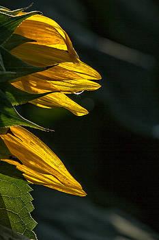 Sunflower Dew by Allen Ahner