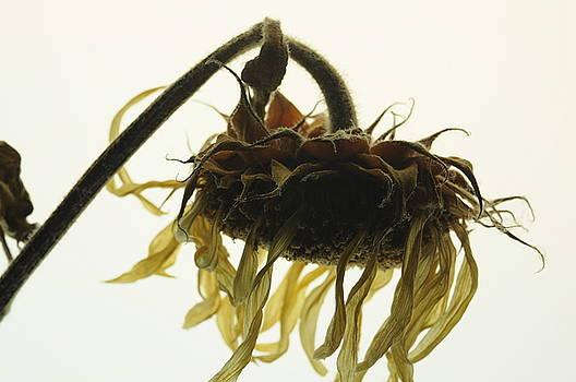 Sunflower Dream by Jon Benson
