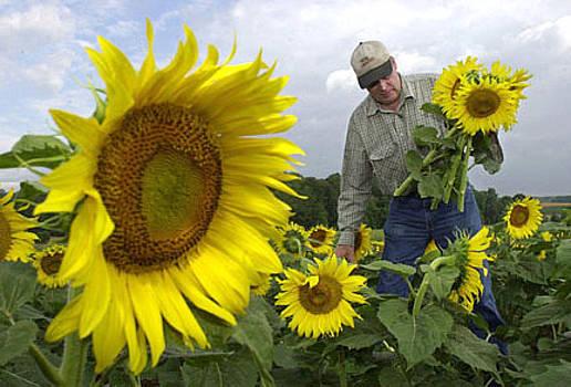 Sunflower Farmer by Aimee K Wiles-Banion