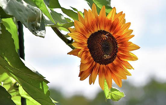 Sunflower Feast by Maria Keady