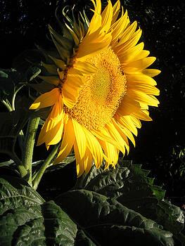 Sunflower by Felicia Cawley