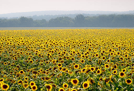 Sunflower Field by Antonio Gruttadauria