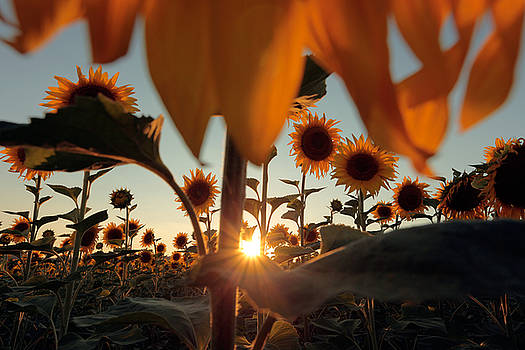Sunflower Field by Floriana Barbu