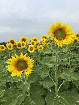 Sunflower Field by Heidi Moss