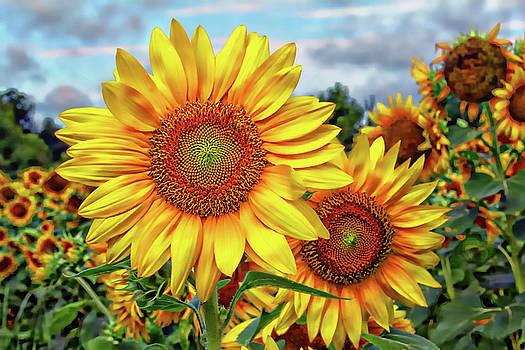 Sunflower Field by Jessica Brawley
