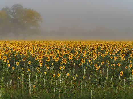 Sunflower Field on a Foggy Morn by Paula Ponath