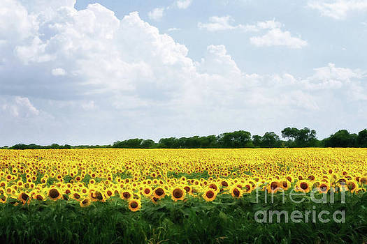 Sunflower Field by Tamyra Ayles