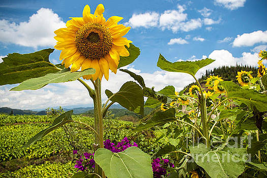 Sunflower Frolic by OiLin Jaeger