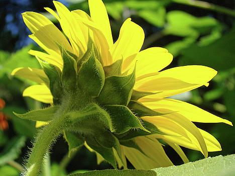 Baslee Troutman - Sunflower Garden art prints Yellow Sunlit Sun Flower Baslee Troutman