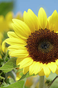 Sunflower by Garden Gate