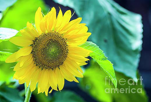 Sunflower Glory by Reynaldo Brigantty