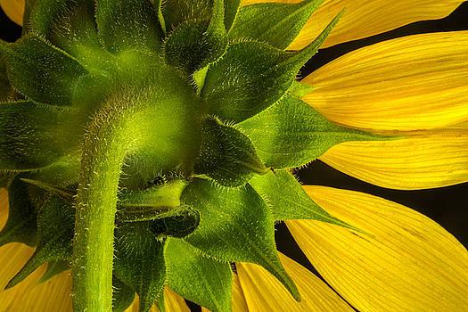 Rick Strobaugh - Sunflower Hairs