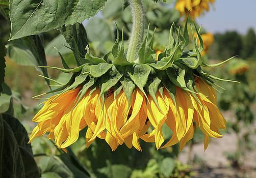 George Chernilevsky - Sunflower Head