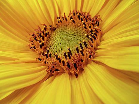 Sunflower heart by Valerie Anne Kelly