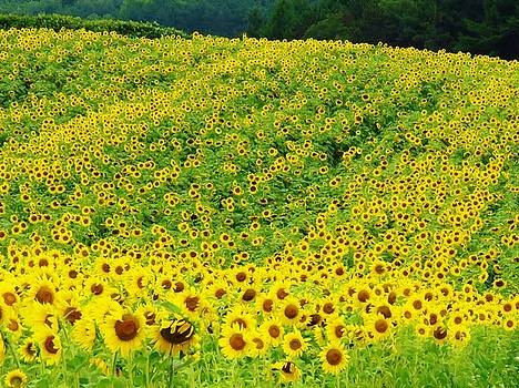 Sunflower Hill  by Lori Frisch