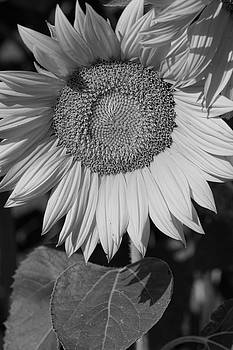 Sunflower in Black and White by Kathy Clark