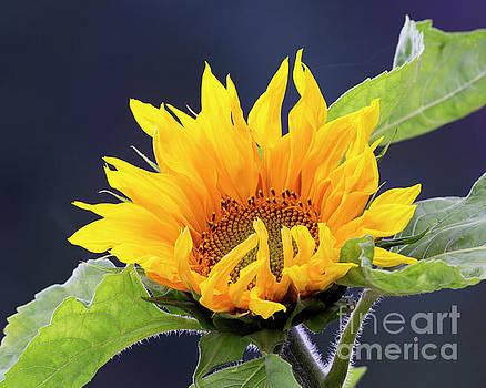 Sunflower In Morning Sunlight by Michael Lesiv