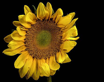 Sunflower by James Sage