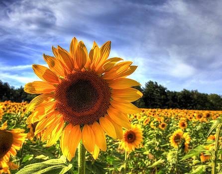 Sunflower by Joe Paniccia