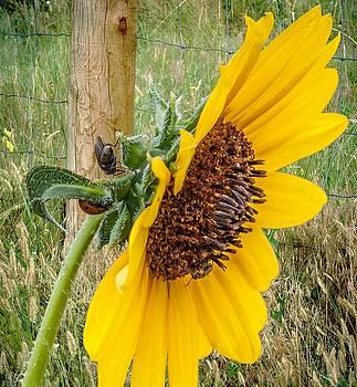Sunflower Joy by Janice Bennett