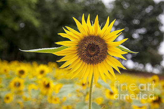 Sunflower by Julie McCullough
