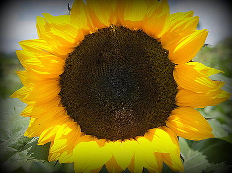 Laurie Perry - Sunflower