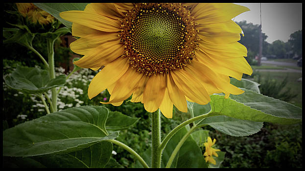 Sunflower by Lawrence P Kaster