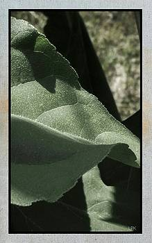 Sunflower Leaves by Lawrence P Kaster