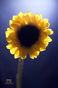 Sunflower Light by Shannon Gan Dathu