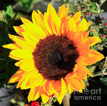 Sunflower lit by the sun by Deborah Benbrook