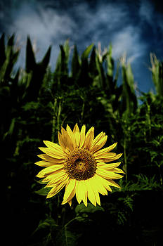 Sunflower by Livio Ferrari