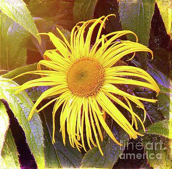 Sunflower by Lynn Bolt