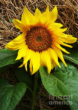 Sunflower by Lynn Jackson