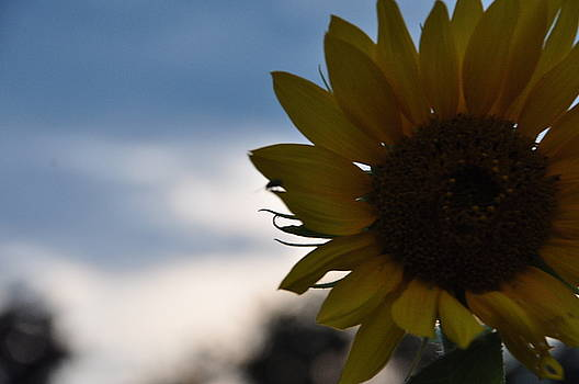 Sunflower by Mallory Jarosz