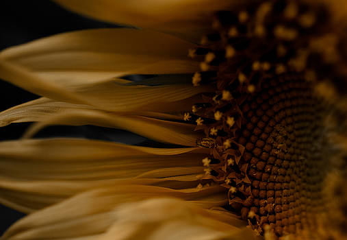 Sunflower by Michelle Minor