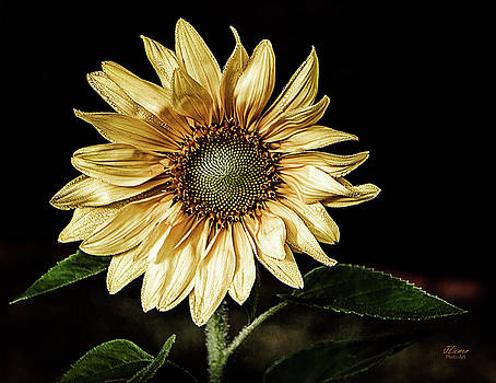 Sunflower Modified by Jim Ziemer
